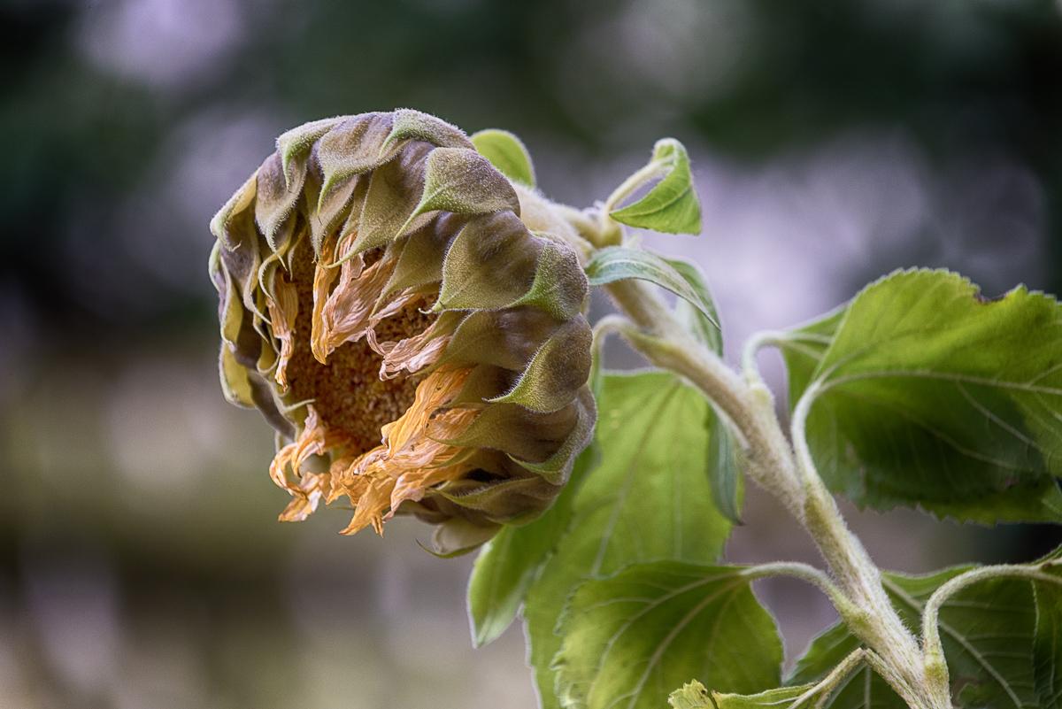 Sterbende Sonnenblume