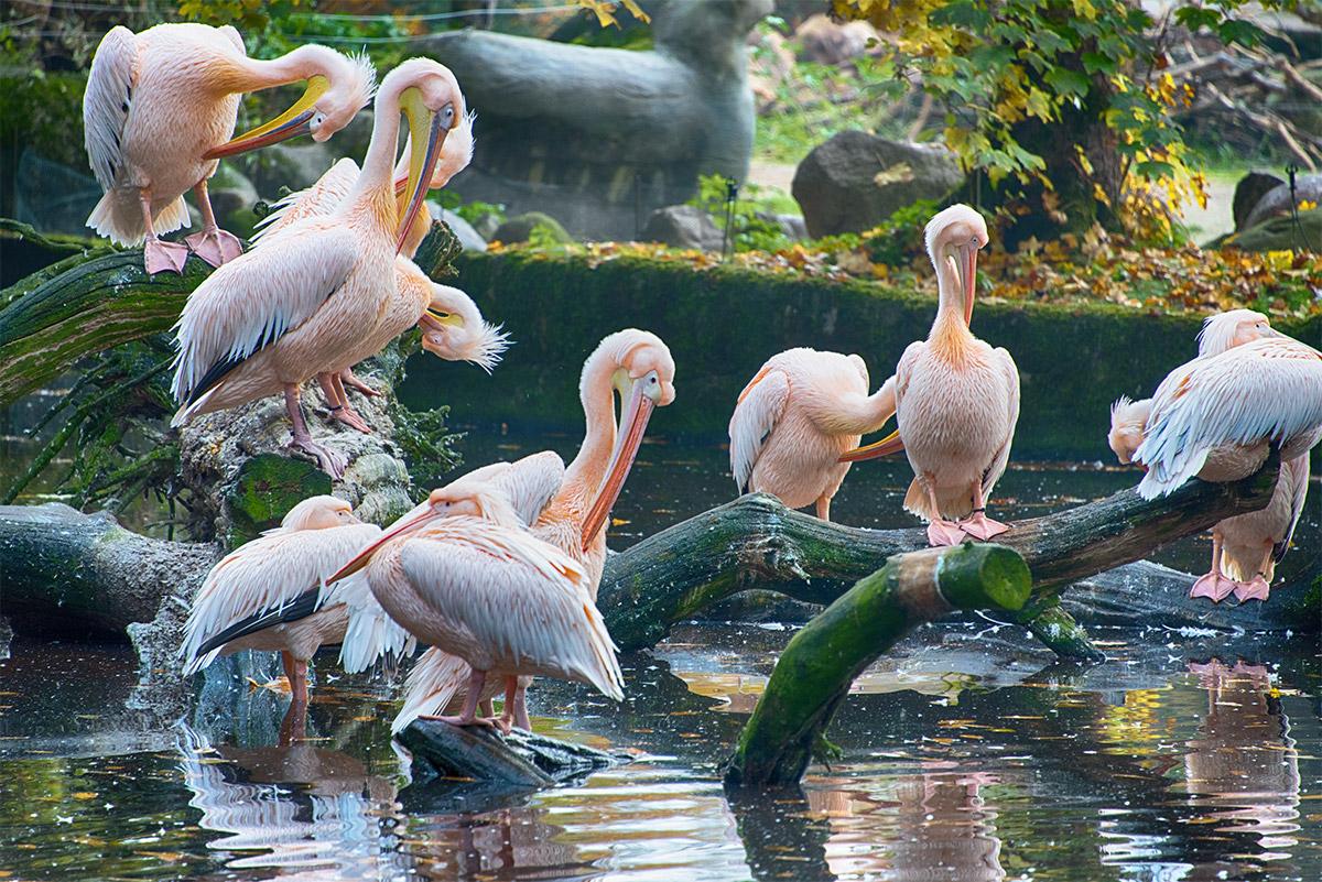 Pelikane beim Morgenputz